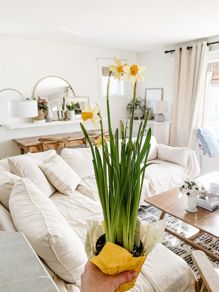 a hand holding up mini daffodils in a living room